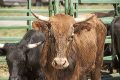 Rodeo Steer Stock Images