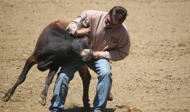 Rodeo Steer Wrestling. Santa Barbara Old Spanish Days August 2013 Steer Wrestling event Stock Images