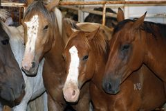 Rodeo Stock Horses. Brown rodeo stock horses (racing horses) in a stable Royalty Free Stock Photography