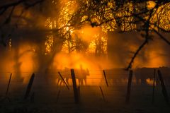 Rodeo sunset, ray of sunlight. Sunset ray of sunlightacross the trees with silhoette of cows in Argentina Stock Photography