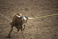 Team Roping. Rodeo team roping caught on head and heels stock photography