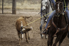 Team Roping Stock Image