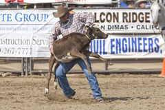 Rodeo Tie Down Roping Royalty Free Stock Photo
