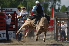 Rodeo: Tjurstridighet Arkivbilder