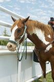 Rodeopferd, vertikal Stockfotos
