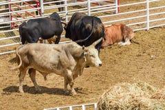 Rodeostieren in een penwachten in een rodeo uit te voeren Wyoming, de V stock afbeeldingen