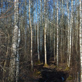 Roderas rurales de la estación del camino de la suciedad, cenagal temprano salvaje de la primavera, bosque del árbol de abedul de Fotografía de archivo libre de regalías