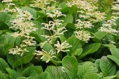 Rodgersia aesculifolia, ulistnienie roślina Obraz Stock