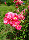 Rodhatte Rosa Imagem de Stock