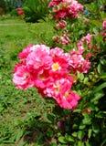 Rodhatte Rose Stock Image