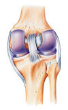 Rodilla - anatomía, visión dorsal Fotos de archivo