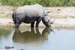 Rodilla del rinoceronte profundamente en el agua en un agujero de riego en el parque imagen de archivo libre de regalías