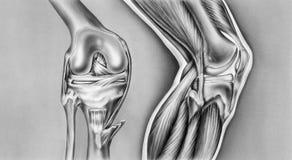 Rodilla - huesos, ligamentos y músculos Foto de archivo libre de regalías