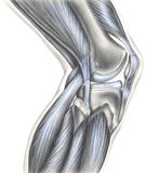Rodilla - huesos, ligamentos y músculos Fotos de archivo libres de regalías