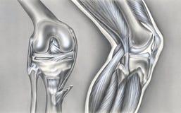 Rodilla - huesos, ligamentos y músculos Imágenes de archivo libres de regalías