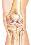 Rodilla - huesos y junta in situ Imagen de archivo