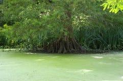 Rodillas de Cypress Fotografía de archivo libre de regalías