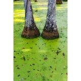 Rodillas de los árboles Imagen de archivo