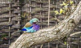 Rodillo breasted lila en descanso Imagen de archivo libre de regalías