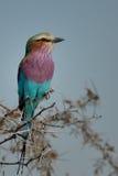 Rodillo breasted lila que se sienta en árbol de la espina Fotos de archivo libres de regalías