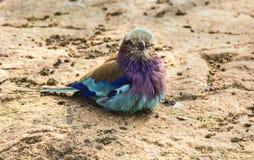 Rodillo de Breasted de la lila Foto de archivo libre de regalías