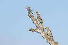 Rodillo de Breasted de la lila y dos Hornbills cargados en cuenta amarillos Fotografía de archivo libre de regalías
