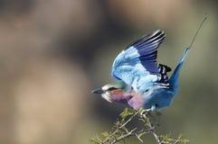 Rodillo de la Lila-breasted (caudatus del Coracias) Foto de archivo