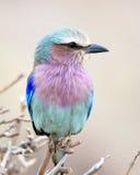Rodillo de la lila-breasted en un pequeño árbol Foto de archivo