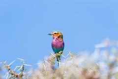 Rodillo de la lila-breasted encaramado en una rama del acacia Foto de archivo