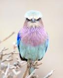 Rodillo de la lila-breasted que se sienta en un árbol Imagen de archivo