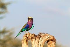 Rodillo en el árbol seco Tarangire, Tanzania, África Imágenes de archivo libres de regalías
