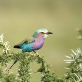 Rodillo en el serengeti, Tanzania de la Lila-breasted Imágenes de archivo libres de regalías