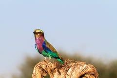 Rodillo hermoso en el árbol Tarangire, Tanzania, África Fotografía de archivo
