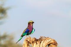 Rodillo multicolor de Tarangire Tanzania, África Imagenes de archivo