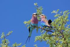 Rodillos de Breasted de la lila Imagen de archivo