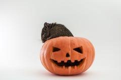 Roditore in zucca di Halloween Immagini Stock Libere da Diritti