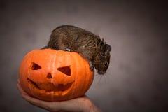 Roditore in zucca di Halloween Fotografie Stock Libere da Diritti