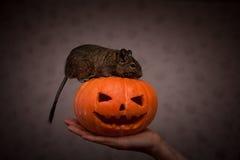 Roditore in zucca di Halloween Fotografie Stock