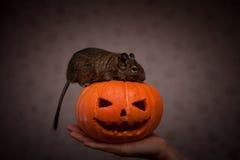 Roditore in zucca di Halloween Immagine Stock