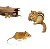 Roditori: tamia che mangia una nocciola, topo di marrone giallo, due tamie in un ceppo caduto, isolato su fondo bianco. illustrazione di stock