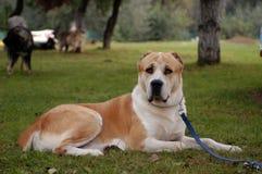 Środkowy Azja Pasterski pies Zdjęcia Royalty Free