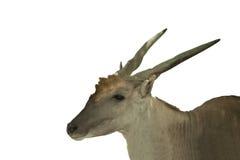 Środkowy Azjatycki dziki rogacz Obrazy Stock