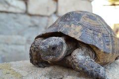 Środkowy Azjatycki tortoise obrazy stock