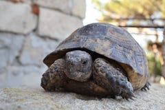 Środkowy Azjatycki tortoise fotografia royalty free