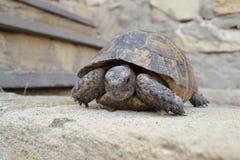 Środkowy Azjatycki tortoise zdjęcia royalty free