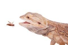 Środkowy Brodaty smok goni krykieta na bielu Fotografia Stock