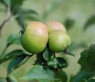 Rodna äpplen på ett träd Royaltyfri Bild