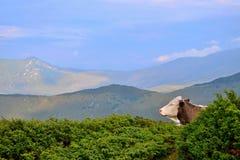 Rodnabergen in Roemenië - koe die uit kijken van Royalty-vrije Stock Fotografie