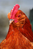Rodney Howard Brown 2. Banty rooster closeup, chicken, bird Stock Photography