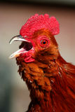 Rodney Howard Brown 4. Banty rooster crowing and making lots of noise Royalty Free Stock Photo